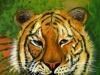 Nr. 311 Tiger, der Beobachter 50x50  Acryl