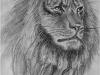 Nr.316  König der Tiere  20x28 - 24x30  Kreide / Bleistift / Kohle